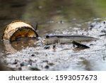 Mudskippers Are Amphibious Fis...