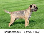 The Typical Border Terrier In A ...