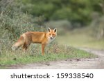 red fox | Shutterstock . vector #159338540