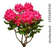 Pink Flower Of Rhododendron...