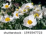 White Flowers Of California...