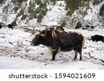 Yak Standing In The Snow...