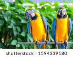 Two long tailed macaw parrot...