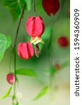 Small photo of Trailing Abutilon(Abutilon megapotamicum) blooming in the garden close up