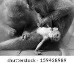 long tailed macaque monkey in... | Shutterstock . vector #159438989