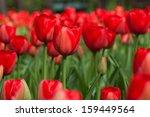 bright colorful tulips.  | Shutterstock . vector #159449564