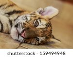 Siberian Tiger Cub Is Lying