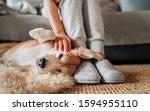 Beagle Dog Female Owner Caress...