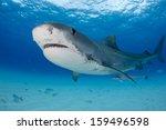 tiger shark at tiger beach in...   Shutterstock . vector #159496598