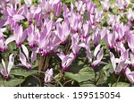 Cyclamen  Gentle Purple Flower...
