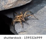 A Small Wolf Spider On Slate...