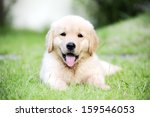 Stock photo puppy 159546053