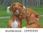 Stock photo young rhodesian ridgebacks playing 15955555