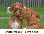 Stock photo young rhodesian ridgebacks playing 15955555
