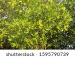 Close Up Of Magrove Trees With...