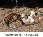 5 Lined Skink With Eggs In...