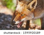 Aggressive fox head detail....