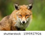 Close Up Of A Red Fox  Vulpes...
