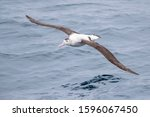 Small photo of Antipodean albatross (Diomedea antipodensis) flying over the New Zealand subantarctic Pacific Ocean. Gliding low over the water surface.