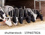 Cows In A Farm. Dairy Cows In A ...