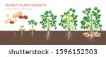 peanut growing stages vector... | Shutterstock .eps vector #1596152503