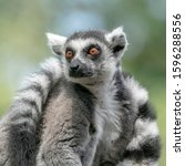 Portret Of A Ring Tailed Lemur  ...