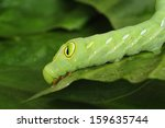 caterpillar on a leaf | Shutterstock . vector #159635744