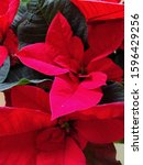 Red Poinsettia Hybrid Colors....