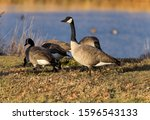 Winter Geese - A gaggle of Canadian Geese feeding on a lawn at side of a small pond on a winter evening. Bear Creek Greenbelt Park, Lakewood, CO, USA.