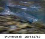 Wild Salmon Swimming Upstream...