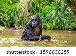 Bonobo In The Water. The Bonob...