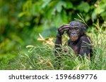 Bonobo In Green Tropical...