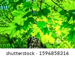 Small photo of Green maple leaves backlight view. Maple leafs backlight. Green maple leaves backlit view. Green maple leaves
