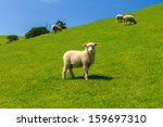 A Sheep On Green Field Of The...