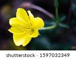 Close Up Image Of Oenothera...