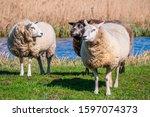 Three Woolly Sheep  Ovis Aries...