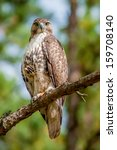 Coopers Hawk Perched On Tree...