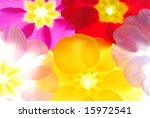 Close-up of primula flowers against white background - stock photo