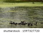 Eurasian Coot Or Common Coot O...