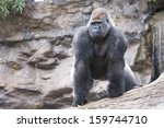 West Lowland Silverback Gorill...