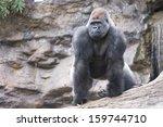 West Lowland Silverback Gorill...