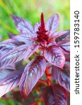 Small photo of Red amaranth (Amaranthus cruentus) closeup