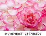 Stock photo pink rose petals and rose 159786803