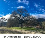 Giant Oak Tree Along Brown\'s...