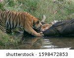 Male Tiger  Panthera Tigris ...