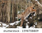 Lynx Climbs Trees On A Sunny...