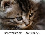 close up portrait of tabby... | Shutterstock . vector #159880790