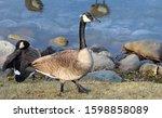 Canad Goose Bird On Grass