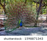 Beautiful Peacock With Its...