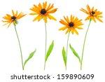 Four Flower Yellow Coneflower...
